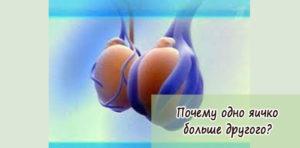 Размер яичек у мужчин норма патология размер причины устройство органа