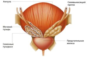 Функция предстательной железы у мужчин