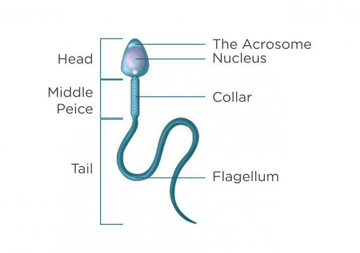 Причина изогнутых сперматозоидов